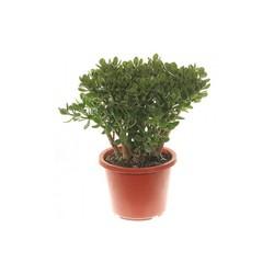 Комнатные растения раст-88