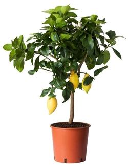 Комнатные растения раст-99