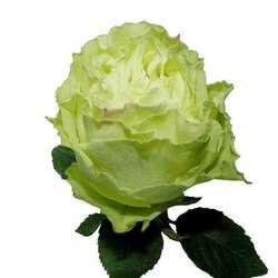 Розы 14