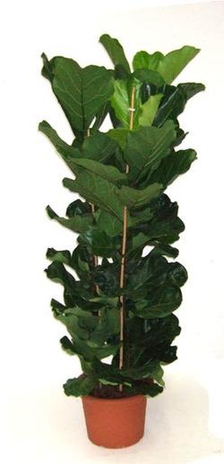 Комнатные растения раст-30