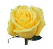 Розы 11