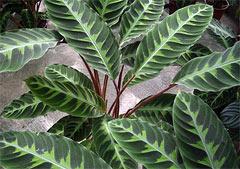 Комнатные растения раст-66