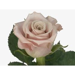 Розы 19
