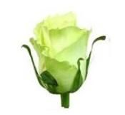 Розы 62