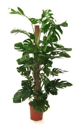 Комнатные растения раст-91