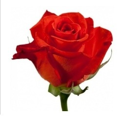 Розы 66