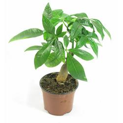 Комнатные растения раст-149