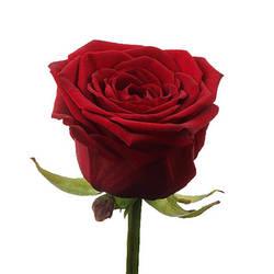 Розы 30