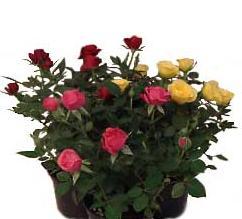 Комнатные растения раст-148