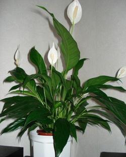 Комнатные растения раст-145