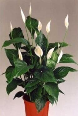 Комнатные растения раст-144