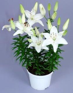 Комнатные растения раст-116