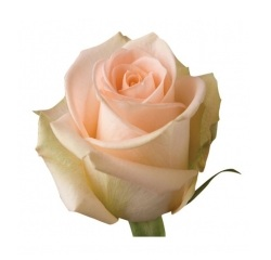Розы 59