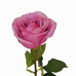 Розы 18