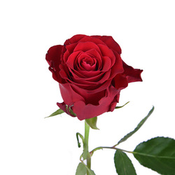 Розы 24