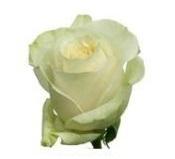 Розы 61